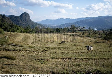 A Few Cows On Terraced Rice Fields On A Farm In A Valley Between Kalaw And Inle Lake, Shan State, My