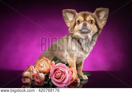 Well Groomed Chihuahua Dog Is Sitting Near Rose Flowers Bouquet. Purple Violet Background.