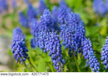 Blue Grape Hyacinth. Flowers Muscari. Flowers In Spring Garden. Muscari Is A Genus Of Perennial Bulb