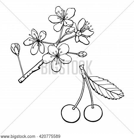 Two Cherries And Cherry Tree Flowers And Buds. Line Art Monochrome Vector Illustration Isolated On W