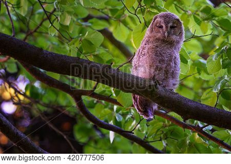 The Tawny Owl Or Brown Owl - Strix Aluco Is A Stocky, Medium-sized Owl Commonly Found In Woodlands.
