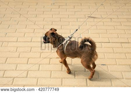 A Petit-brabanson Dog Struts Along The Path In A Walking Harness. Copy Space.
