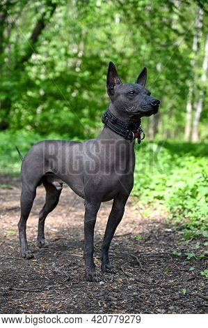 Beautiful Male Xoloitzcuintle (mexican Hairless Dog) In Black Collars Portrait Standing Against Gree