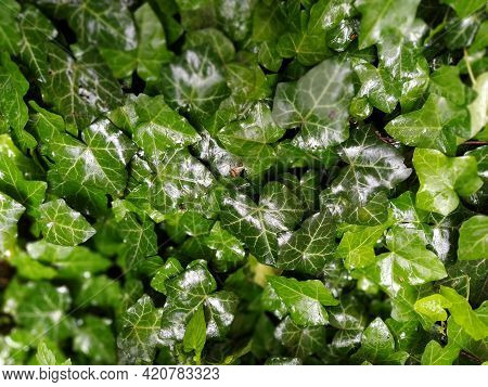 Wet Ivy Leaves After The Rain. Close-up Of Wet Leaves. Rain Drops On Ivy. Nature, Season And Environ