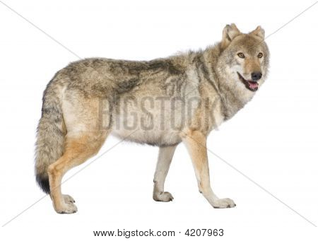 old European wolf - Canis lupus lupus in front of a white background poster