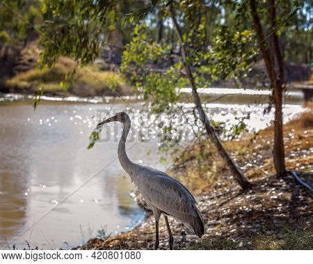 A Brolga Bird Standing On The Banks Of A Bushland Dam With The Sun Glistening On The Water Backgroun