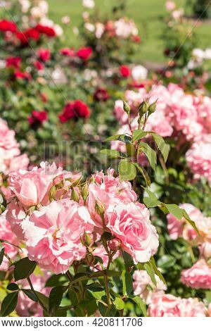 Bed Of Pink And Red Roses In Bloom With Burred Background And Copy Space