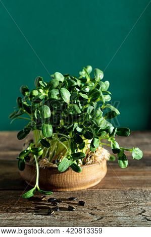 Growing Microgreen In Wooden Bowl. Sunflower Leaves. Germinating Seeds For Vegan Eco Food. House Gar