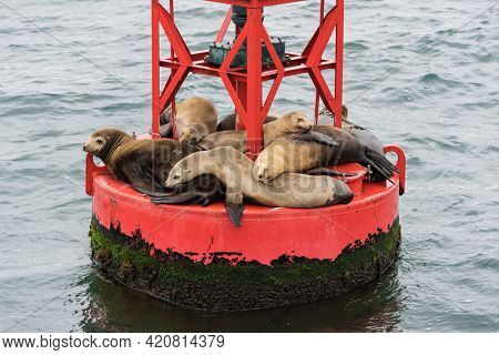 Lazy sleepy Sea Lions on buoy near Channel Islands National Park and Ventura, California, USA.