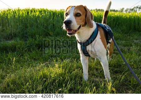 Dog Portrait Back Lit Background. Beagle With Tongue Out In Grass During Sunset