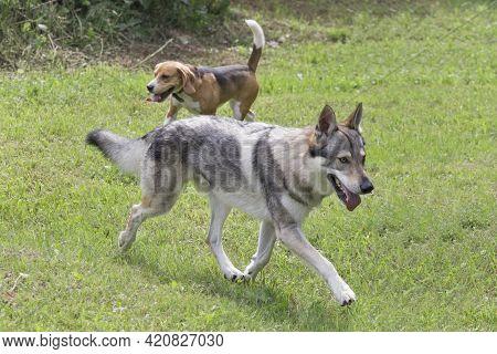 Czechoslovak Wolfdog Is Running On A Green Grass In The Summer Park. Pet Animals. Purebred Dog.