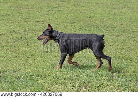 Doberman Pinscher Puppy Is Walking On A Green Grass In The Summer Park. Pet Animals. Purebred Dog.