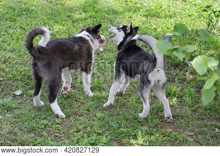 Siberian Husky Puppy And Border Collie Puppy Are Playing On A Green Grass In The Summer Park. Four M