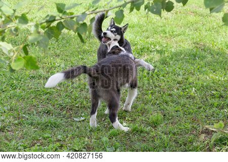 Cute Border Collie Puppy And Siberian Husky Puppy Are Playing On A Green Grass In The Summer Park. F