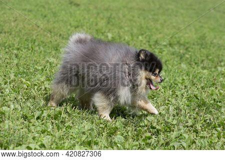 Cute Pomeranian Spitz Puppy Is Walking On A Green Grass In The Summer Park. Deutscher Spitz Or Zwerg