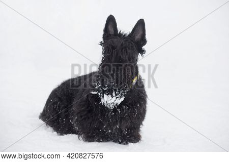 Black Scottish Terrier Puppy Is Sitting On A White Snow In The Winter Park. Pet Animals. Purebred Do