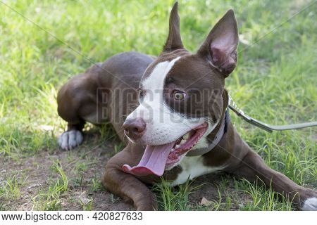Cute American Pit Bull Terrier Puppy Is Lying On A Green Grass In The Summer Park. Ten Month Old. Pe