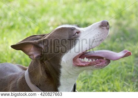 Portrait Of Cute American Pit Bull Terrier Puppy With Lolling Tongue. Ten Month Old. Pet Animals. Pu