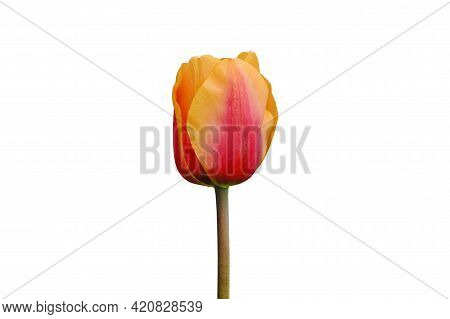 Red And Orange Tulip Flower Isolated On White Background. Tulip Flower Head Isolated On White. Sprin