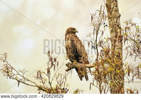 Impressive Buzzard, Buteo Buteo, Sitting On A Branch In The Spring With Copy Space. Dominant Bird Of