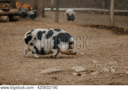 Speckled Adult Teacup Pig At The Zoo. High Quality Photo