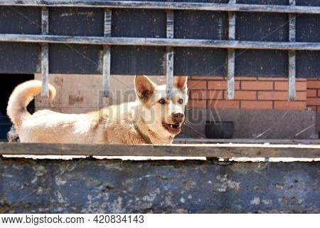 Light Dog Walks Behind The Fence And Barks