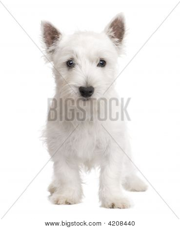 West Highland White Terrier (3 months) in front of a white background poster