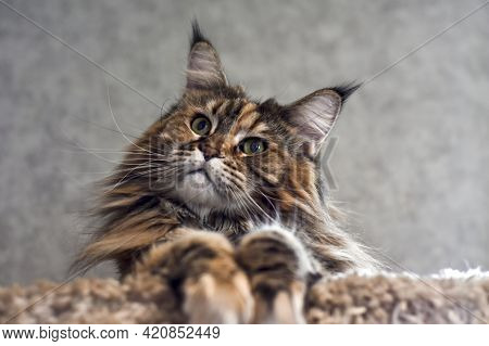 Portrait Of A Domestic Black Tabby Cat Maine Coon. Close-up Studio Photo Of A Tabby Kitten