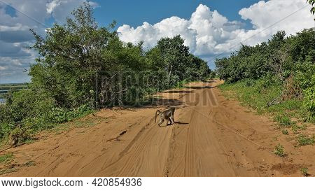 A Monkey Runs Across A Dirt Road With Tire Tracks In The Dust. Other Monkeys Are Sitting On The Side
