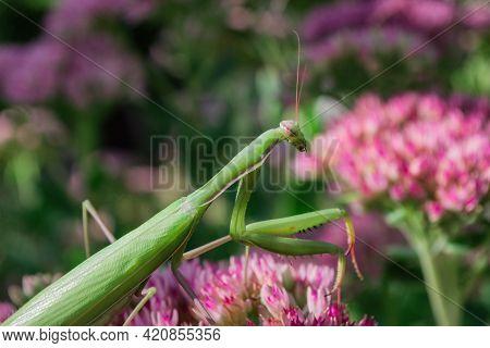 Green Praying Mantis (latin: Mantis Religiosa) On Plant Sedum Spectabile Or Stonecrop Flowers (latin