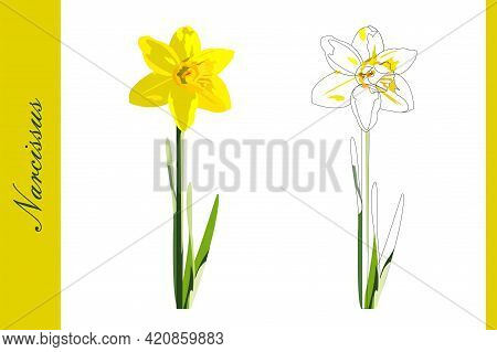Beautiful Sunshine Daffodil Narcissus Filled And Outlined