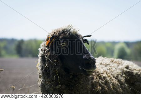 An Up Close View Of A Sheep Head. Side View. Sheep In The Pasture. Home Animal. The Sheep Is Grazing