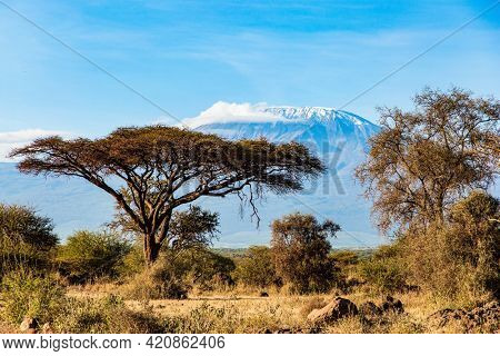 Plain acacias of the Horn of Africa. Amazing Amboseli Park. The exotic Africa. The famous snow-capped Mount Kilimanjaro in the middle of the flat savannah.