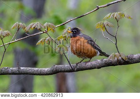 American Robin (turdus Migratorius) Perched On A Tree Limb During Spring.