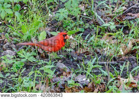 Northern Cardinal (cardinalis Cardinalis) On The Ground Feeding On A Carolina Spring Beauty (clayton