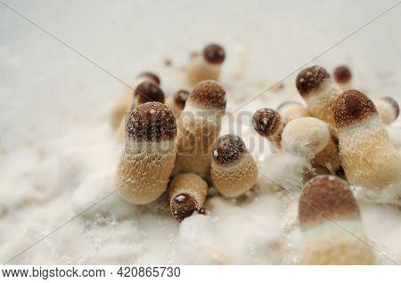 Micro Growing Of Psilocybe Cubensis Mushrooms On White Background. Mycelium Of Psilocybin Psychedeli