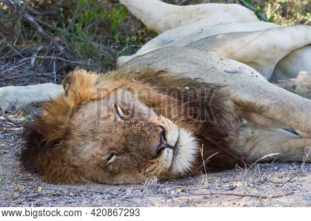 Large Adult Male Lion (panthera Leo) Head Portrait Closeup Sleeping In Kruger National Park, South A