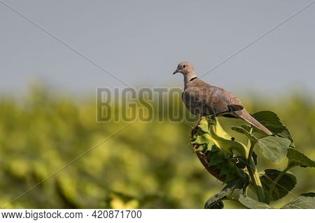 Collared Pigeon Streptopelia Decaocto, Sitting On A Sunflower.