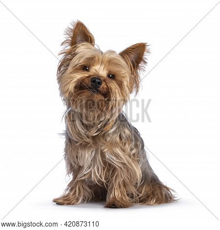 Scruffy Adult Blue Gold Yorkshire Terrier Dog, Sitting Up Facing Front Looking Towards Camera And Sm
