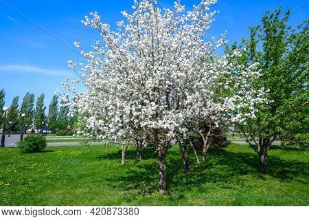 White Flowers Of A Blooming Apple Tree. Blooming Fruit Trees In The Garden In Spring Against The Blu