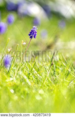 A Portrait Of A Grape, Muscari Or Mouse Hyacinth Flower Standing In The Grass Of A Lawn In A Garden,