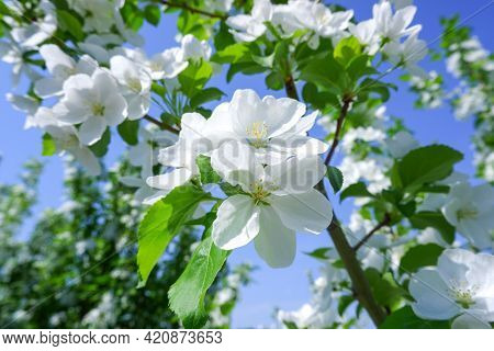 White Flowers Of A Blooming Apple Tree. Close-up. Blooming Fruit Trees In The Garden In Spring.  Bac