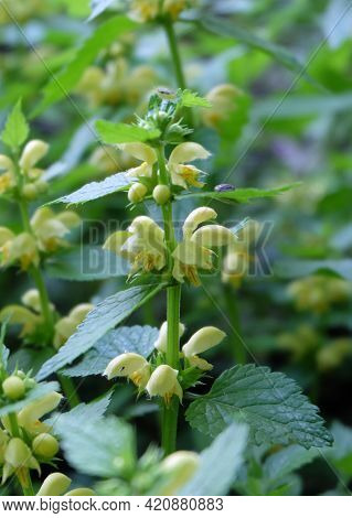Forest Plant Yellow Archangel (galeóbdolon Lúteum), Selective Focus, Blurred Background, Vertical Or