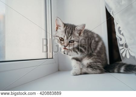 A Small Scottish Tabby Kitten Sits On The Window And Licks Its Thick Paws