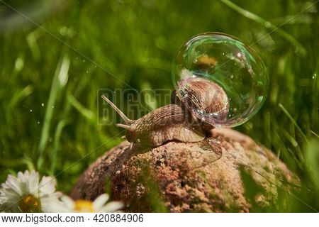 A Large Garden Snail Sits On A Rock In The Grass. On The Shell Of A Snail, A Soap Bubble Shimmers.