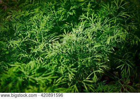 Dill Grows At Balcony Flowerpots. Vegetable Garden At Home. Seasonal Greenery Grows At Balcony Flowe