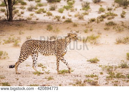 Cheetah Walking In Arid Land In Kgalagadi Transfrontier Park, South Africa ; Specie Acinonyx Jubatus