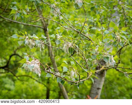 Selective Focus Of Black Poplar Tree Leafs And Fluff (populus ) With Blurred Background In Springtim