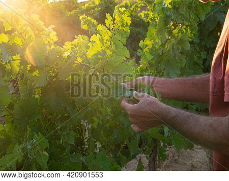 Portrait Of A Proud Mature Farmer Standing With Hat With Vineyard In Background. Satisfied Mature Wi