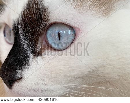The Head And Muzzle Of A White With Black Spots Fluffy Beautiful Cat With Blue Eyes And Long Whisker